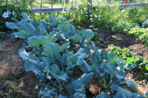 Sept 2012 broccoli