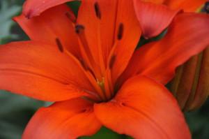 Sept 2014 orange lily