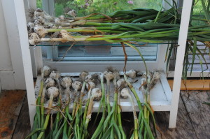 Sept 2012 garlic