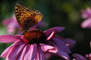 Sept 2012 butterfly