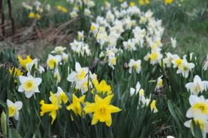 Sept 2014 daffodils