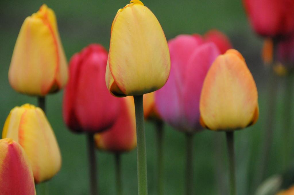 Sept 2014 tulips