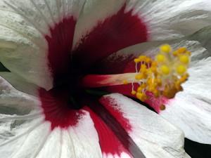 Sept 2014 hibiscus
