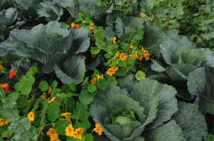 cabbage and flowers