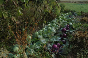 Nov 2008  cabbage
