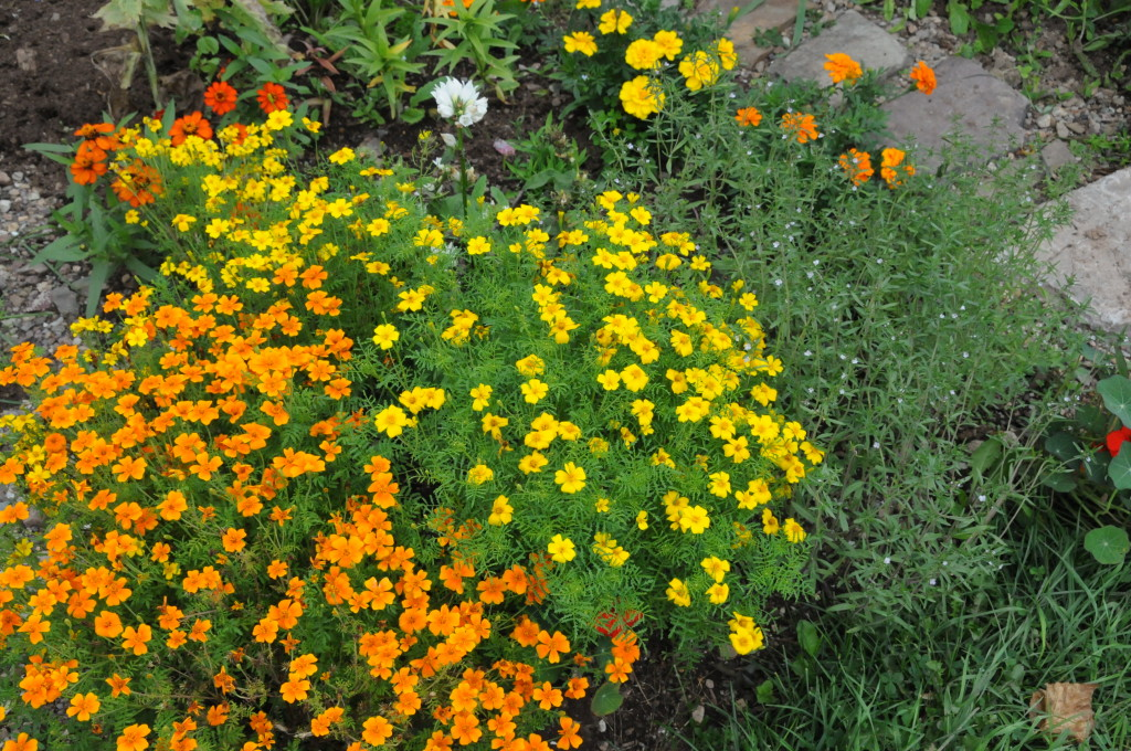 Oct 2009 Marigolds