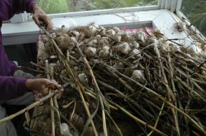 Nov 2008 garlic-4