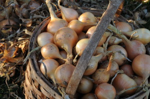 Nov 2008 onions in basket